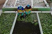 BANELINO, Fairtrade Bananas, Dominican Republic