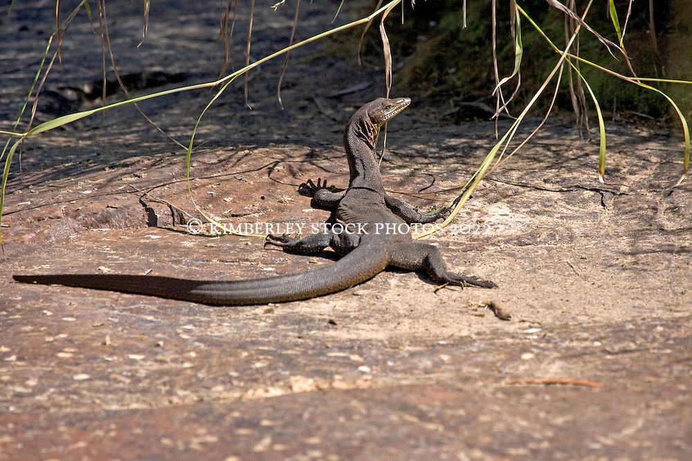 Merten's Water Monitor (Varanus martensii) by a freshwater pool on the Kimberley coast.