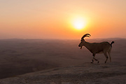Nubian Ibex (Capra ibex nubiana), at sunrise. Photographed on the edge of the Ramon crater, Negev Desert, Israel