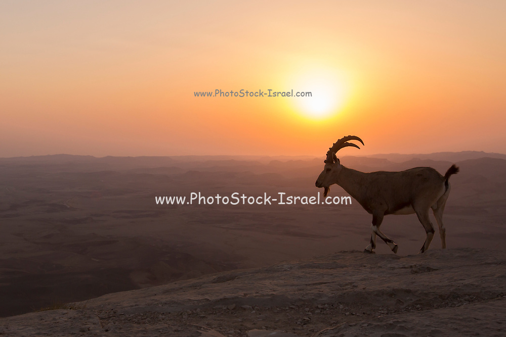 Nubian Ibex (Capra ibex nubiana), at sunrise. Photographed on the edge of the Ramon crater, Negev Desert, Israel
