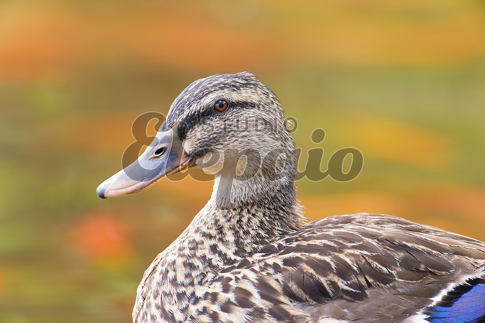 Female mallard (Anas platyrhynchos). Photographed in Kaneohe on Oahu, Hawaii.