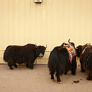 Yaks tied up outside of a yak competition. Carley, left, was awarded grand champion in the female class.