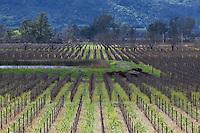 Bare Vineyards in Winter, Napa Valley, California