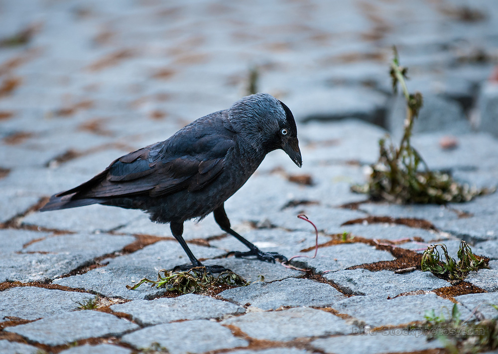 Western Jackdaw, Coloeus monedula, Belgium, by Owen Deutsch