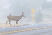 White-tailed Buck Crossing the Road - Odocoileus virginianus - Missoula, Montana