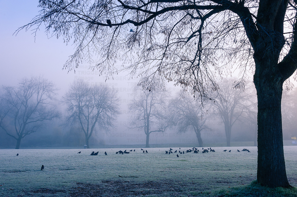 A murder of crows on the ground against a foggy background and row of trees.