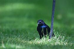 11 May 2012:   Grackle on or near a backyard bird feeder