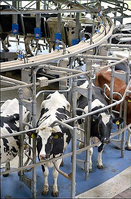Nederland, The Netherlands, Mook, 2-4-2015Bij een melkveebedrijf worden de koeien op een moderne manier gemolken. Zij stappen in de carousel die onderdeel is van de stal, en laten zich in een paar minuten melken. De melkbekers laten automatisch los van de uier als deze leeg is. Deze koeien kunnen ook naar buiten in de wei.Deze melk wordt gebruikt voor de productie van kaas door kaasfabriek DOC in Hoogeveen.FOTO: FLIP FRANSSEN/ HOLLANDSE HOOGTE
