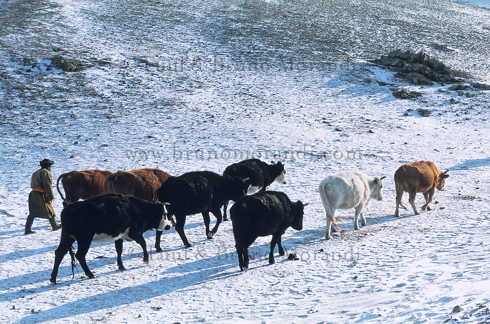 Mongolie. Province de Töv en hiver. Rassemblement des troupeaux. // Mongolia Töv province in winter. Cattle gathering.
