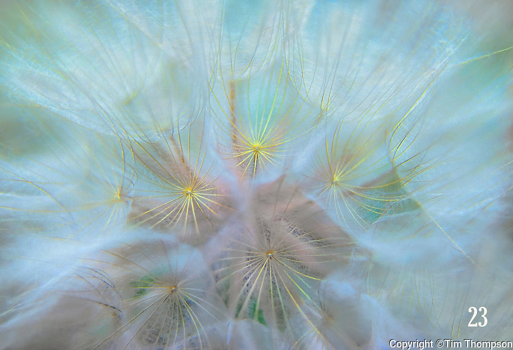 looking into dandelion