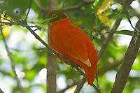 Orange Dove male photo Fiji
