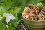 A bowl of wild morel mushrooms in a patch of trillium wild flowers.