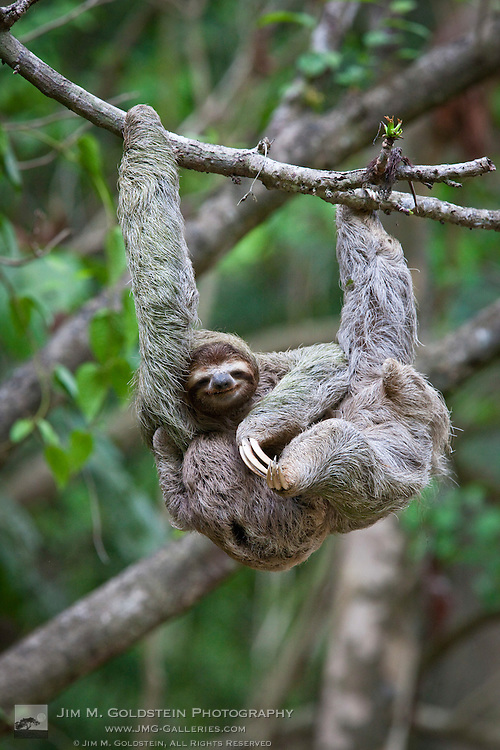 A young Brown-throated Sloth (Bradypus variegatus) nurses it's baby while hanging from a tree branch in the jungle of Corcovado National Park, Costa Rica