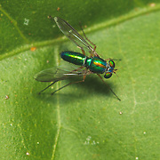 Dolichopodidae, the long-legged flies, make up a large family of true flies with more than 7,000 described species in about 230 genera distributed worldwide. They are generally small flies with large, prominent eyes and a metallic cast to their appearance, though considerable variation is observed.