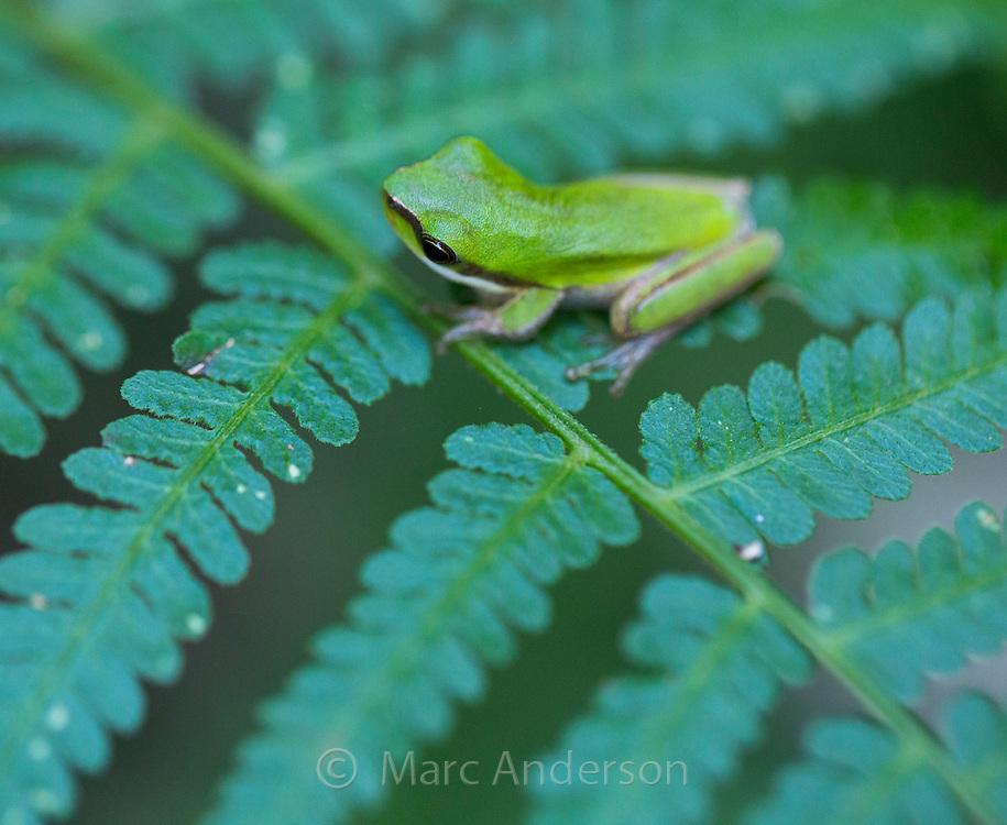 Eastern Dwarf Tree Frog (Litoria fallax), Royal National Park, Australia