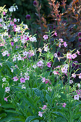 Nicotiana 'F1 Whisper Mix' with Allium sphaerocephalon and Atriplex hortensis 'Rubra'. Tobacco plant