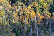 """Fall foliage, mostly Bigleaf Maple (Acer Macrophyllum), on the slopes of Sasquatch Peak in Sasquatch Provincial Park, British Columbia, Canada.  Photographed from """"The Point"""" at Deer Lake."""