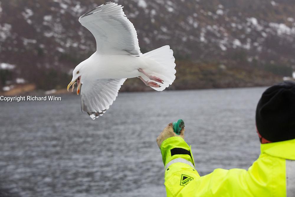 Herring gull in Trollfjord, in the Lofoten Islands of Norway.
