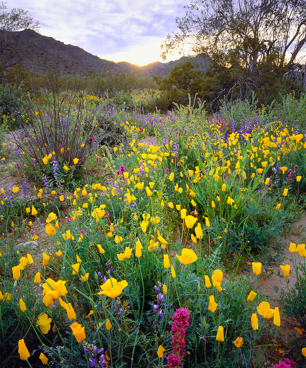 0123-1001 ~ Copyright:  George H. H. Huey ~ Sonoran Desert National Monument, poppies, lupine, owl clover, creosote bush, and ironwood trees.  North Maricopa Mountain Wilderness, Arizona.