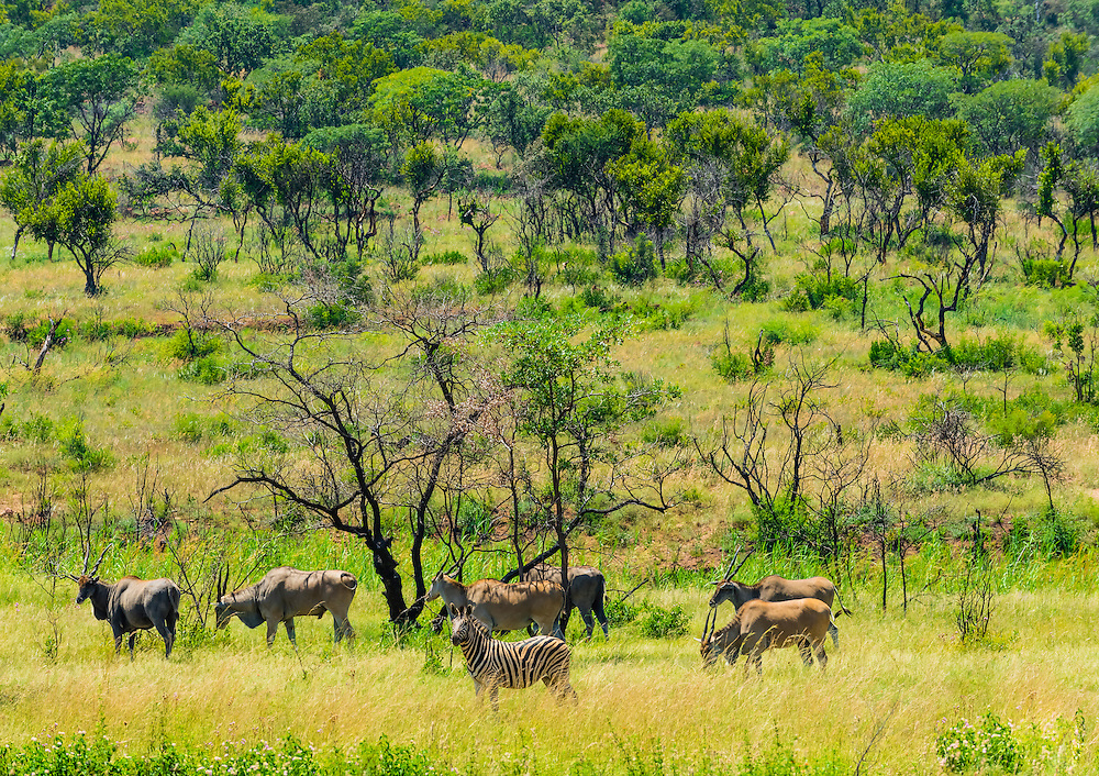 Zebras and eland, Dinokeng Game Reserve, near Pretoria (Tshwane), South Africa.