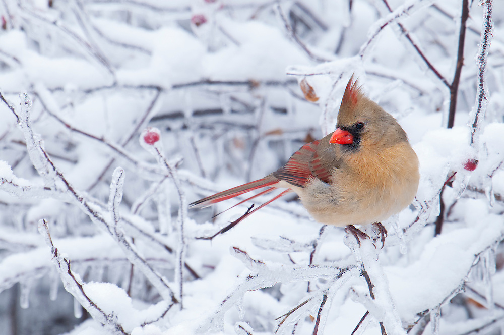 Northern Cardinal; Cardinalis cardinalis; female, Metamora, Michigan