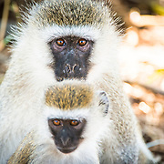 An adult and young vervet monkey at Tarangire National Park in northern Tanzania not far from Ngorongoro Crater and the Serengeti.