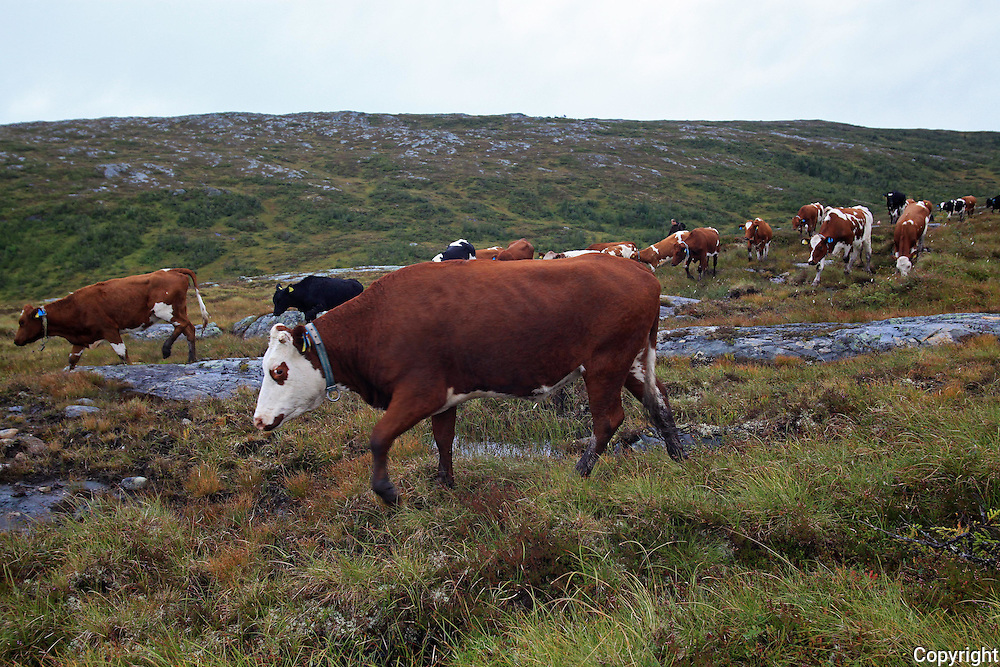 Roltdal beitelag har henten ned krøtterne fra årets fjellbeite i Roltdalen nasjonalpark. Turen går forbi Måltoppen og Måltopptjenna og ned til Kubjørga i Flora. Foto: Bente Haarstad