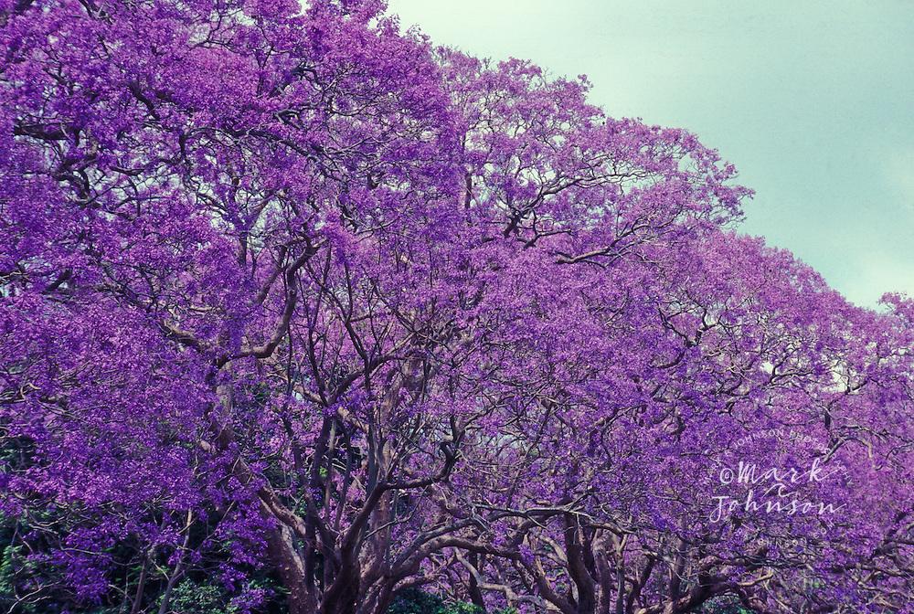jacaranda trees in bloom queensland australia mark a. Black Bedroom Furniture Sets. Home Design Ideas