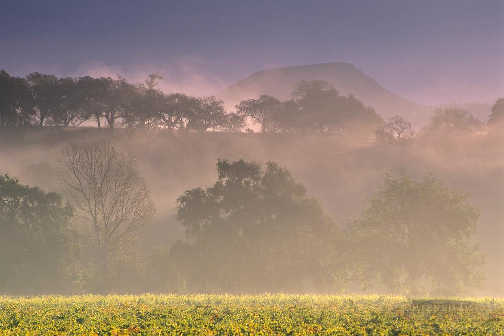 Fog, hills, trees, and vineyard at sunrise, near Oakville, Napa Valley, Napa County, California