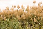 Israel Galilee flowering Reeds growing on the shore of the Sea of Galilee