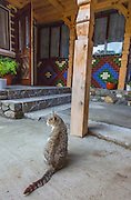 Domestic cat, tabby, traditional house, Romainia.