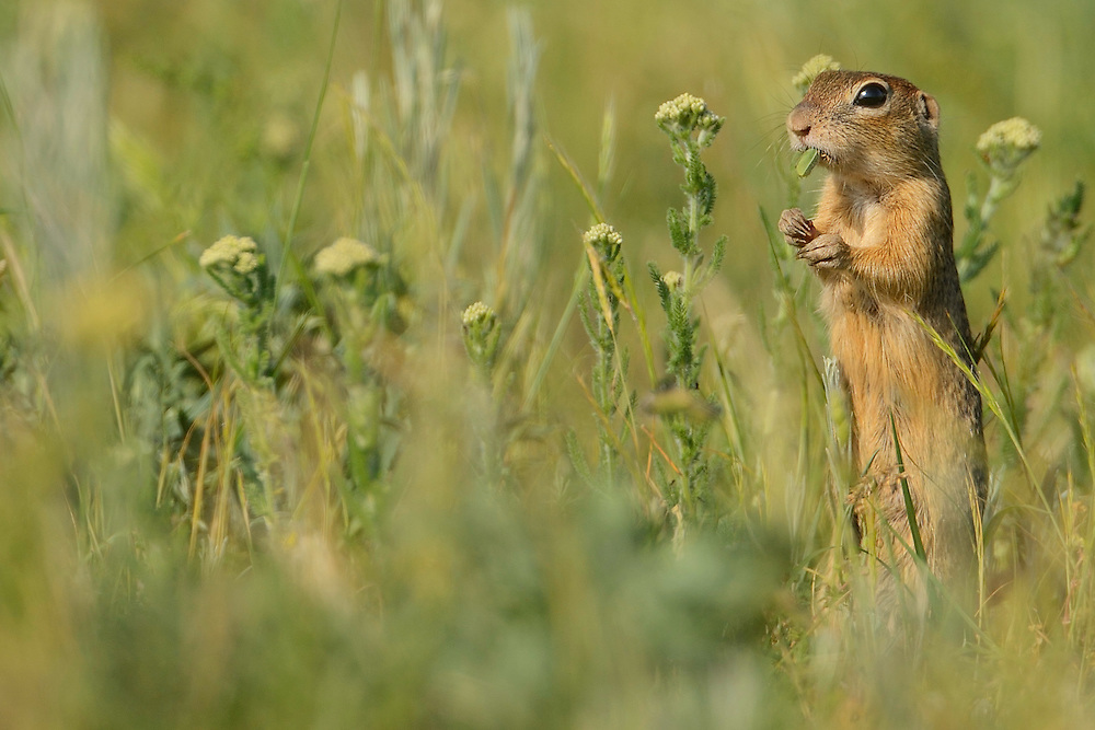 Suslik or European ground Squirrel, spermophilus citellus, Sakar mountains, Eastern Rhodope mountains, Bulgaria