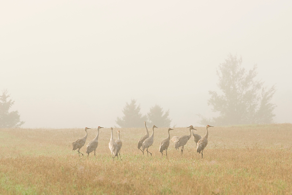 A group of sandhill cranes in a foggy pasture in Alger County Michigan.