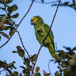 """""""Papagaio-verdadeiro (Amazona aestiva) fotografado em Corumbá, Mato Grosso do Sul. Bioma Pantanal. Registro feito em 2017.<br /> <br /> <br /> <br /> ENGLISH: Blue-fronted Parrot photographed in Corumbá, Mato Grosso do Sul. Pantanal Biome. Picture made in 2017."""""""