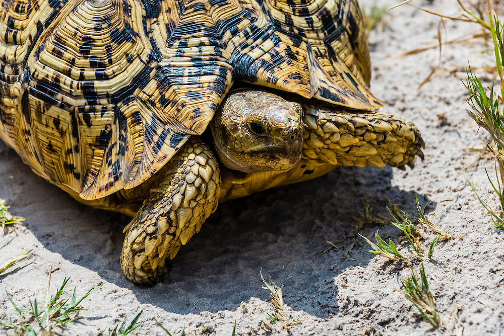 Leopard tortoise, Kwando Concession, Linyanti Marshes, Botswana.