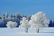 Hoarfrost covered trees<br /> Birds Hill Provincial Park<br /> Manitoba<br /> Canada