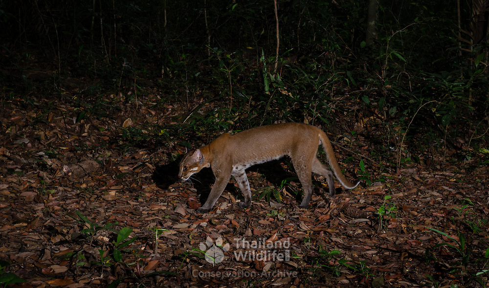 """The Asian golden cat (Catopuma temminckii, syn. Pardofelis temminckii), also called the Asiatic golden cat and Temminck's cat. Asian golden cats, known as the """"fire cat"""" in Thailand"""