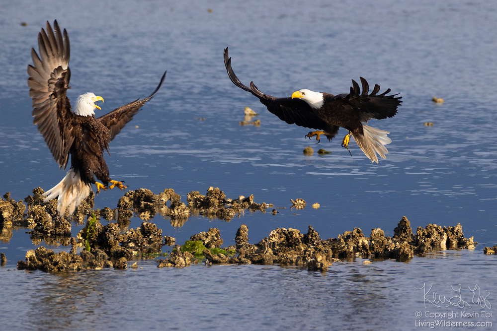 Two bald eagles (Haliaeetus leucocephalus) fight over a fishing spot along Hood Canal near Seabeck, Washington. Hundreds of bald eagles summer there to feast on migrating fish.