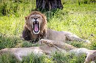 Male lion , (Panthera leo) yawns in  Maasai Mara National Park, Kenya, Africa <br /> male is named Chongo