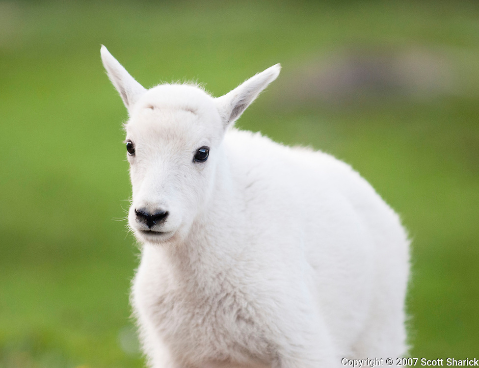 Getting the look from a baby mountain goat in Glacier National Park in Montana. Missoula Photographer, Missoula Photographers, Montana Pictures, Montana Photos, Photos of Montana