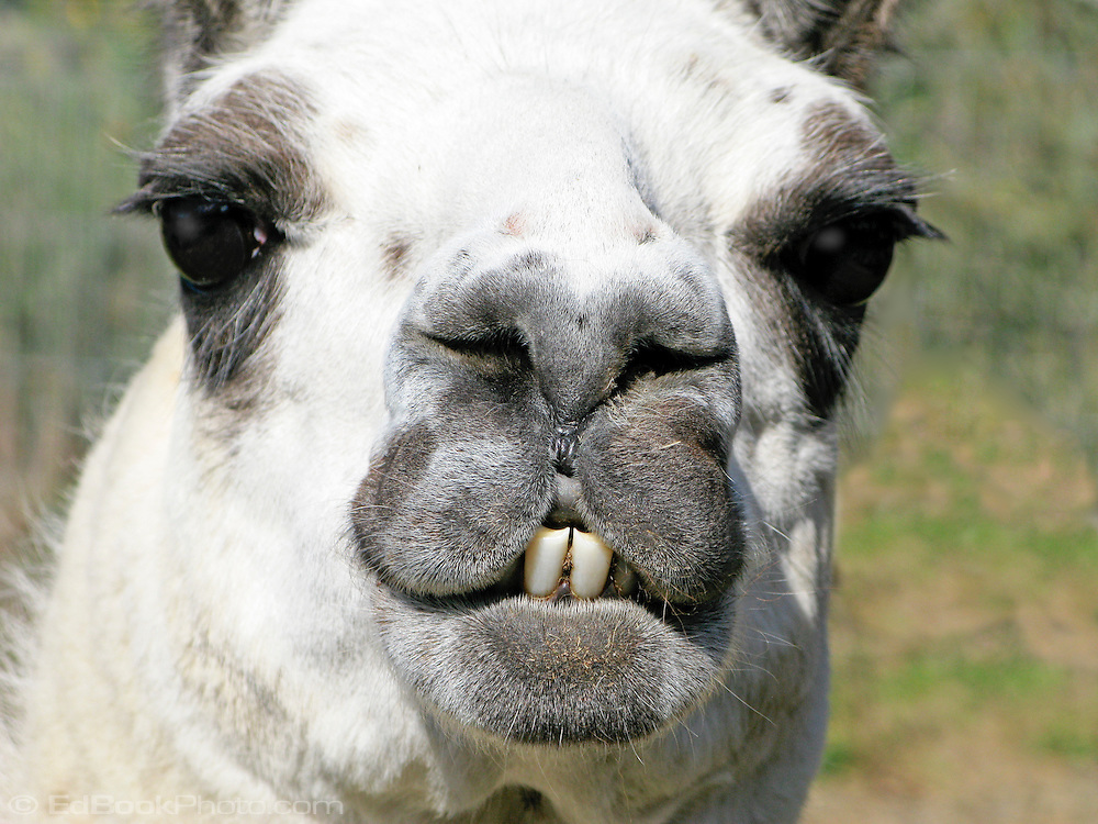 An adult llama smiles for the camera showing her front teeth.  A llama has teeth only on the bottom in the front to slice grass to later chew as a cud with her molars.  They have a split upper lip to hold grass as they move their lower jaw from side to side to slice the grass.