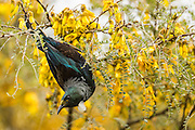 Tui hanging upside down on kowhai tree