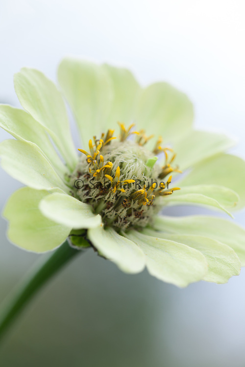 Zinnia elegans 'Envy' - elegant zinnia