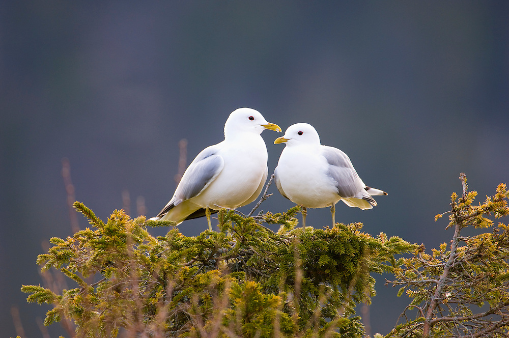 Common gulls perched in Norway spruce