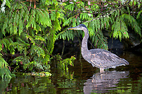 Great Blue Heron (Ardea herodias) hunting along edge of stream, Thornton Fish Hatchery, Ucluelet, British Columbia, Canada