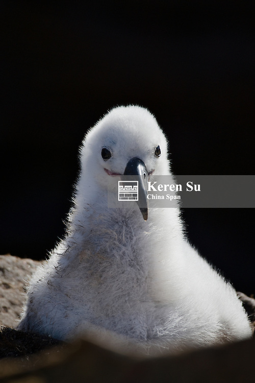 Black-browed albatross (T. m. melanophris) chick in nest, New Island, Falkland Islands