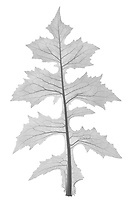 X-ray image of a tall blue lettuce leaf (Lactuca biennis, black on white) by Jim Wehtje, specialist in x-ray art and design images.