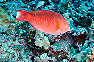 Regal Parrotfish, Scarus dubius, Bennett, 1828, Lanai Hawaii
