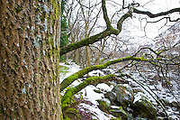 Oak Tree, (Quercus robur) River Elan, The Elan Valley, Rhayader, Mid-Wales, UK        ROBLE,  RIO ELAN, VALLE DE ELAN, RHAYADER, GALES MEDIO, REINO UNIDO