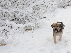 German Shepard Mix dog walking in the snow